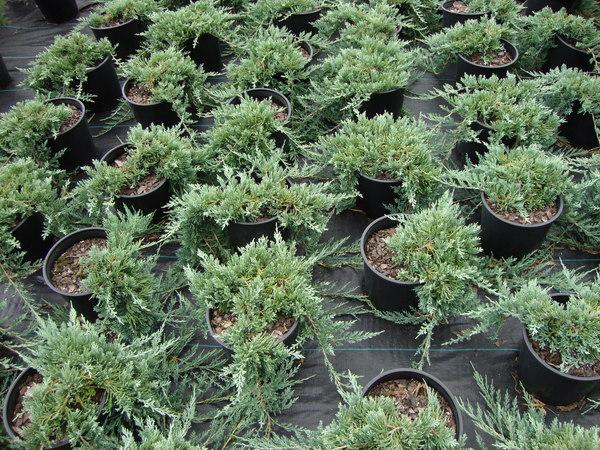 Juniperus Horizontalis Wiltonii Wilton Blue Rug Juniper