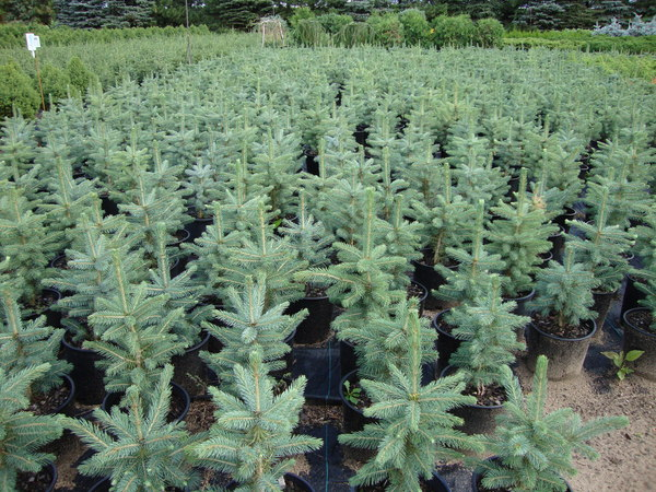 Baker Lake Nursery Products Conifer Trees Minnesota