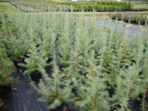 Evergreen Trees Minnesota